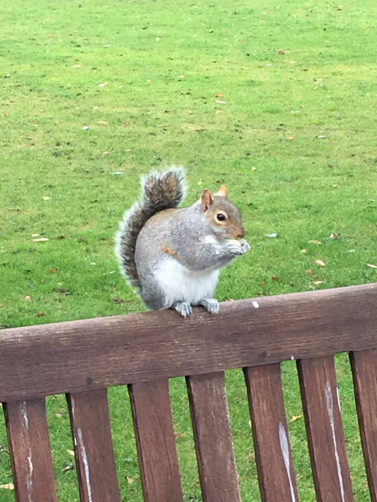 Squirrel, Kensington Gardens, London, lunchSquirrel, Kensington Gardens, London, lunch