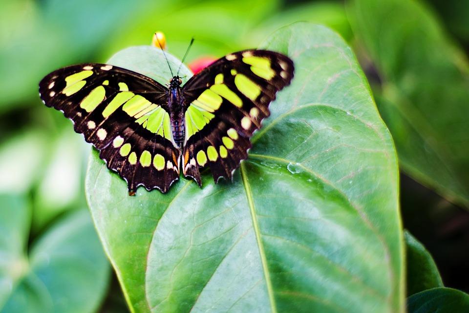 Butterfly, Papillon