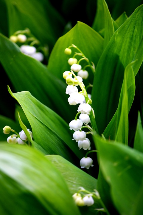 Muguet, Mois de Mai, London, Newsletter
